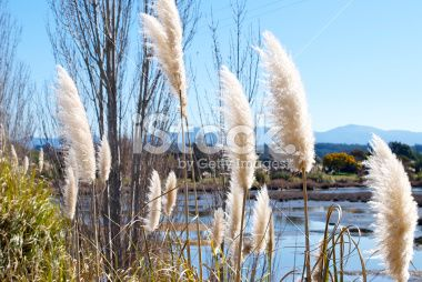 'Toitoi' or 'Toetoe' Grass, Mapua Estuary, NZ Royalty Free Stock Photo