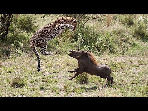 LIVE: Best Moments Wild Animal Fights Caught On Camera - The Best Attacks Of Wild Animal 2017