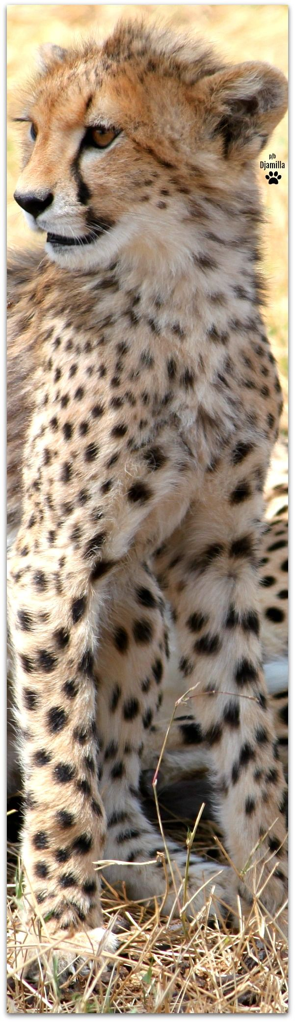 best 25 cheetah animal ideas on pinterest cheetah baby