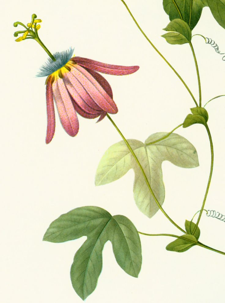 1000 images about antique botanical prints on pinterest for Decoration maison la redoute