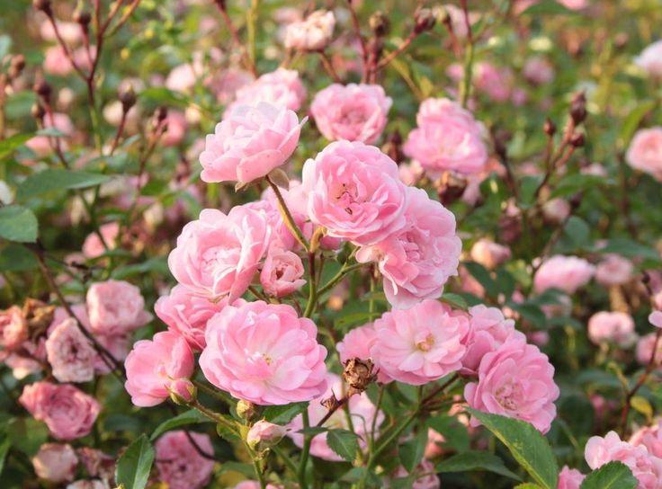 Сорт полиантовых роз The Fairy ( Фейри) с бутонами нежно-розового цвета. Высота куста составляет 70 см. Ширина до 1,2 м. На каждой кисти появляется до 10-40 бутонов диаметром 3-4 см