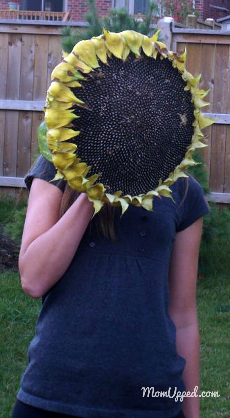 Giant sunflower bigger than my head!  Natural bird feeder.  http://www.momupped.com/growing-veggies.html