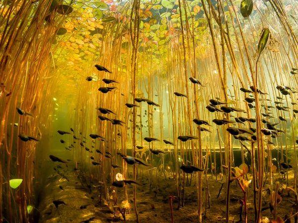 we often overlook alternative perspectives -  school of tadpoles swimming beneath lily pads
