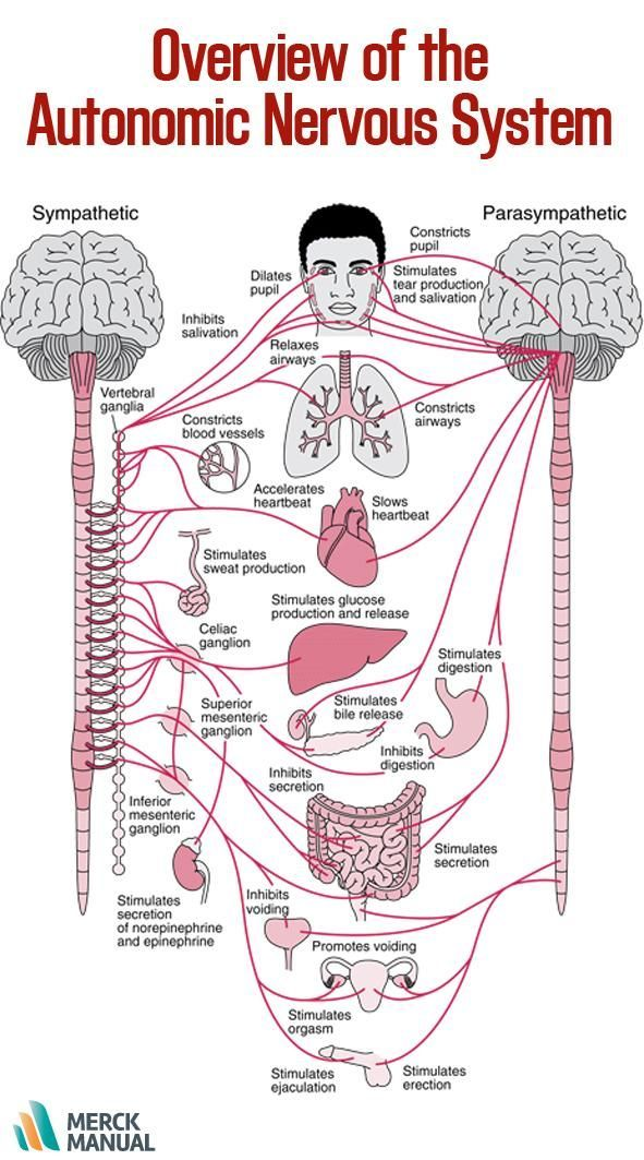 Many organs are controlled primarily by either the sympathetic or the parasympathetic division. Sometimes the two divisions have opposite effects on the same organ. For example, the sympathetic division increases blood pressure, and the parasympathetic division decreases it. Learn more.