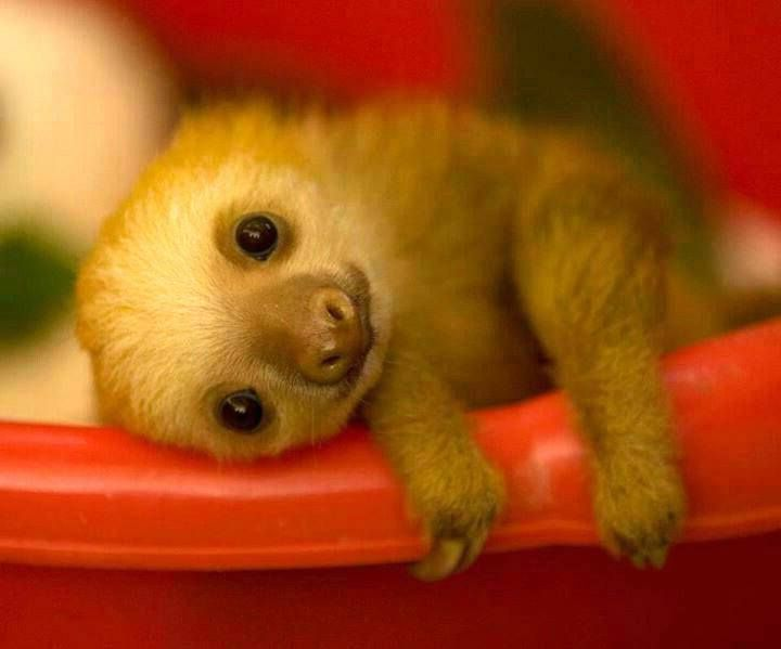 A baby sloth to brighten your day.