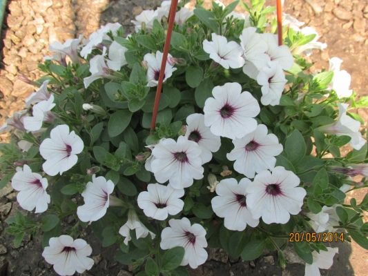 Riippupetunia 'Sweet Pleasure White Lila Eye Patio'