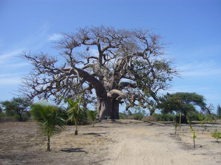 627 best images about baobab on pinterest trees zimbabwe and tree of life. Black Bedroom Furniture Sets. Home Design Ideas