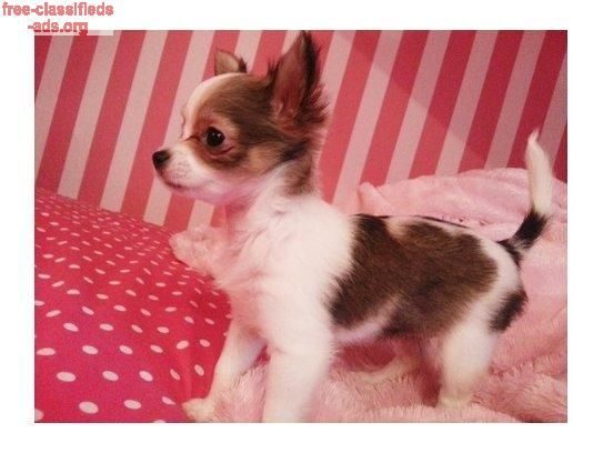 free classifieds ads org   lovely chihuahua puppies for