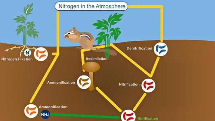 Cycle 2, week 4 - Nitrogen Cycle ...This interactive activity adapted from the University of Alberta illustrates how, through a process called fixation, nitrogen flows from the atmosphere, into the soil, through various organisms, and back to the atmosphere in a continuous cycle.</p>
