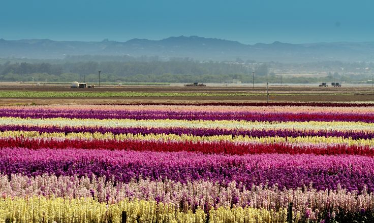 In Lompoc, California, travelers will come across sprawling fields of stock flowers, larkspur, delphinium, and bells of Ireland. See more gorgeous flower fields around the world.