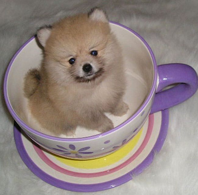 pomeranian puppies for sale in texas cheap 17 best ideas about pomeranian puppies for sale on 9445
