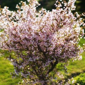 Sakura (Prunus incisa) 'Kojou No Mai'