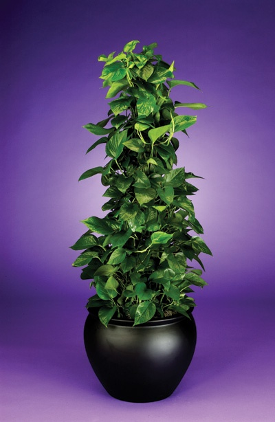Pyramidal Pothos:  It's easy to care for and good in most indoor situations. To keep the plant looking full, do not let runners get to long before pruning. Weave runners around form in a consistent pattern. Be sure to rotate plant to keep growth even.