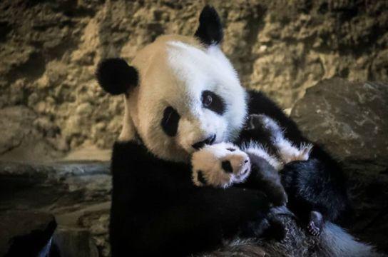 Baby Panda - Pairi Daiza