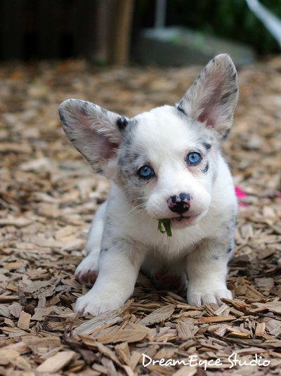 puppy ears <3Cutest Dogs, Welsh Corgis, Ears, Blue Eye, Corgis Puppies, Blue Merle, Adorable, Baby Dogs, Animal