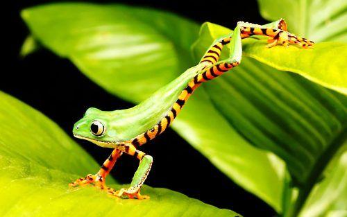 Tiger Striped Tree Frog (Phyllomedusa tomopterna) is found in Bolivia, Brazil, Colombia, Ecuador, French Guiana, Guyana, Peru, Suriname, and Venezuela.