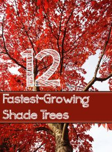 12+Fast+Growing+Shade+Trees:  several picks for our new home.