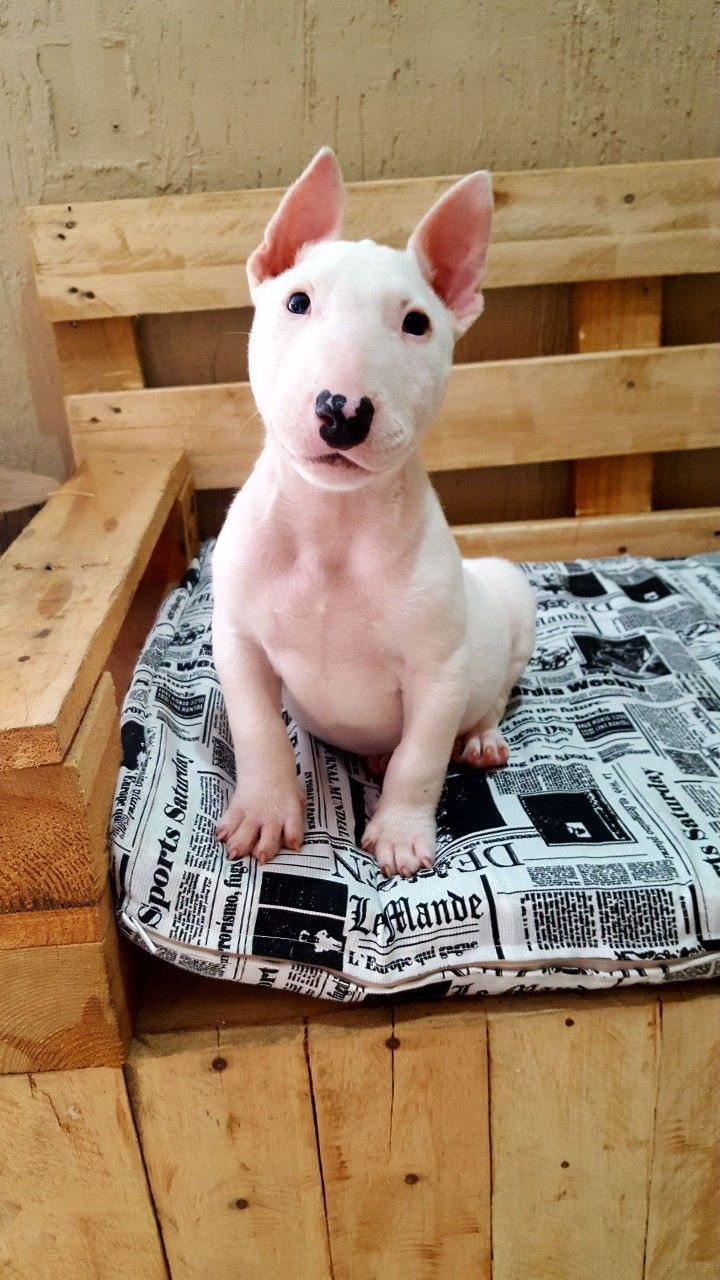Pin By The Jonathan Alonso On Bob Bull Cute Animals Bull Terrier Puppy Bull Terrier