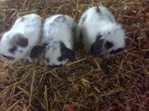 Cuccioli di conigli nano ariete a pelo lungo, disponibili dal 1 marzo