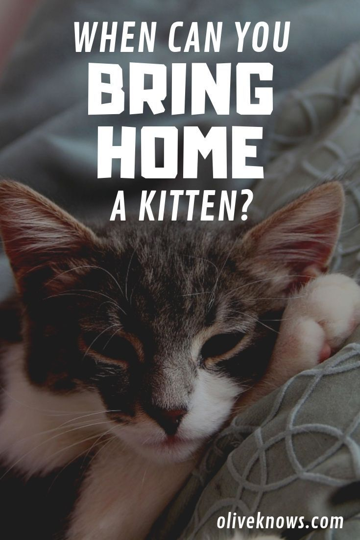 When Can You Bring Home A Kitten Oliveknows Cat Safety Cat Care Cat Training