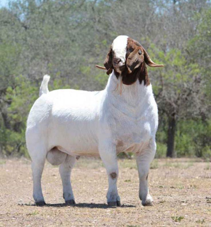 Boer Goat Buck   2Dox Cuger - Boer Goat Buck