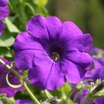 Petúnie patří k nejatraktivnějším balkónovým květinám. Při správné péči vytvoří fantastické květinové vodopády. Jaký potřebují substrát, zálivku, hnojení a jak je ošetřovat?