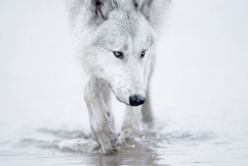 White wolf walking on water - photography