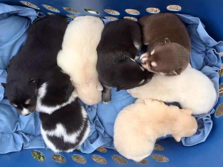 Oxsana Perfect Pomsky Puppies for Sale