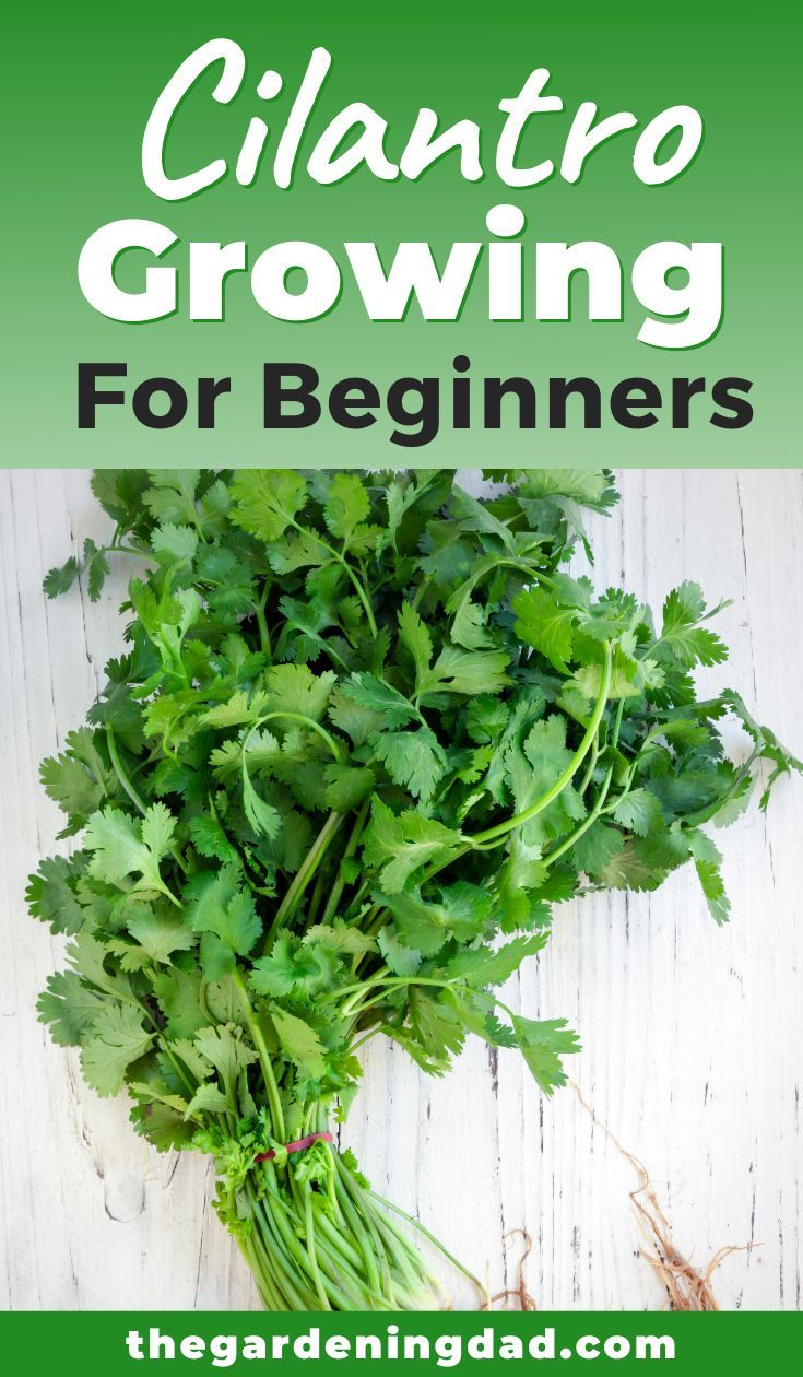 How To Grow Cilantro From Seed 10 Painless Tips Growing