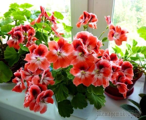 Секреты удобрений для роскошного цветения гераней в домашних условиях. Обсуждение на LiveInternet - Российский Сервис Онлайн-Дневников