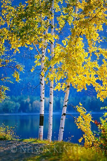 Birch trees in fall color on the shore of Lake MacDonald in Glacier National park in Montana, United States.