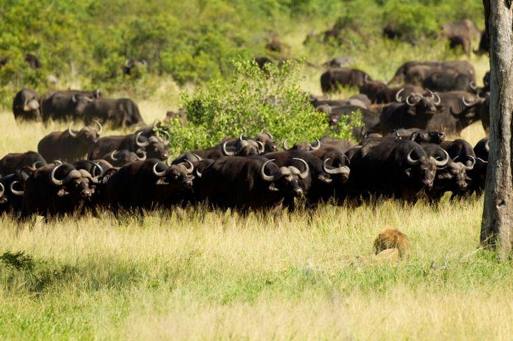Sono immagini decisamente inedite e testimoniano l'uccisione di un leone. L'animale è stato braccato da una mandria di bufali. La scena è stata fotografata dal ranger Lyle Gree, impiegato del parco Kruger, in Sud Africa. Il leone, che era rimasto ferito in un precedente scontro con alt