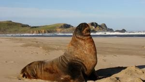 Camping in the Catlins – Newhaven & the sea lions of Surat Bay
