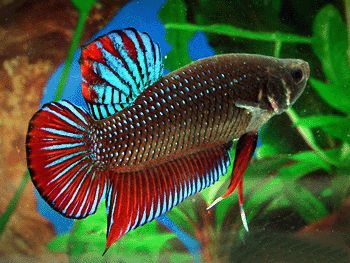 Betta tropical fish for sale. Betta freshwater tropical fish. Betta aquarium supplies. Betta fish aquariums.