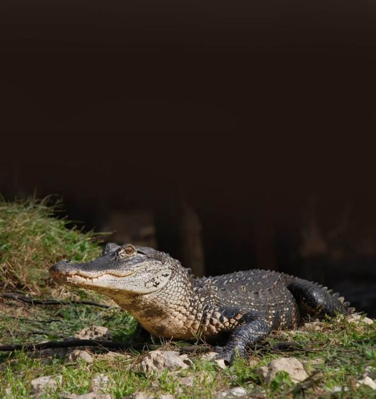 MustDo.com | American alligator on the waters edge at Babcock Wilderness Adventure tour Punta Gorda, Florida.