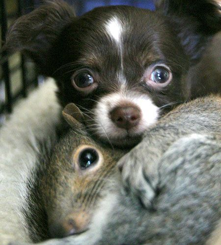 Zachary the chihuahua puppy snuggles his new sibling – one of three abandoned squirrels his mother is raising along with her own two puppies in Cundy's Harbour, Maine, America