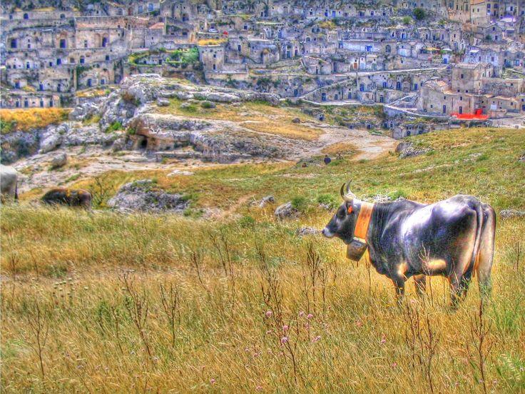 Matera - I Sassi e la mucca