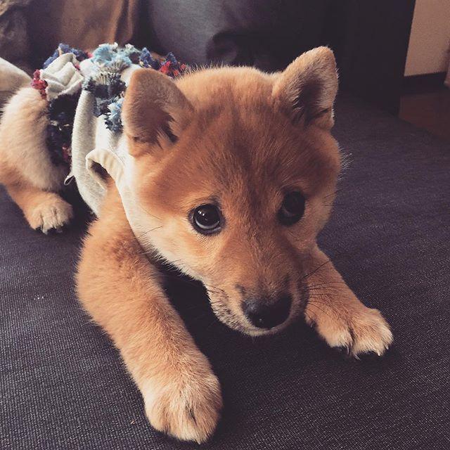 Abby Day49☆ Give me a treat〜 早くちょーだい‼️︎ちょーだいよー‼️︎ #shiba#shibainu#shibainupuppy#shibastagram#shibalovers#shibamania#inu#dog#dogpuppy#doglover#doglife#dogstagram#west_dog_japan#all_dog_japan#proudshibas#puppy#puppylife#proudshibas#puppylove #萌#柴犬#柴犬子犬#犬#癒やし#愛犬#可愛い#春#spring