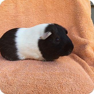 Imperial Beach, CA - Guinea Pig. Meet Stormy, a pet for adoption. http://www.adoptapet.com/pet/16103112-imperial-beach-california-guinea-pig