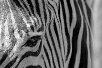 #detail of a #Zebra pattern #eyes #beauty #beautiful #creative #create #photography #purestock #nature #animals #animalportraits #love #color #pattern