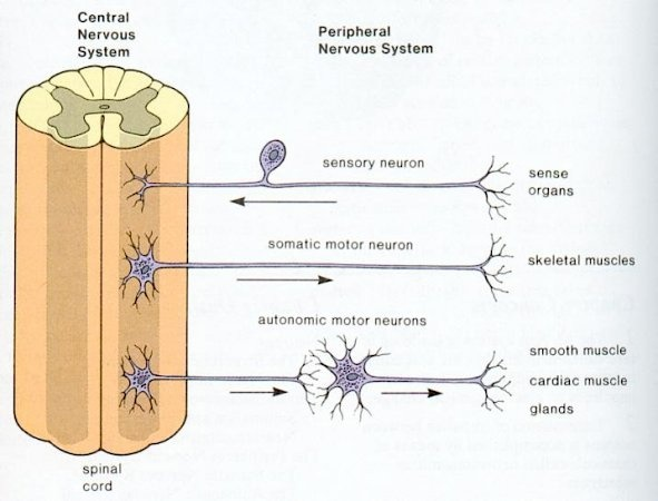 Peripheral Nervous System - cell types