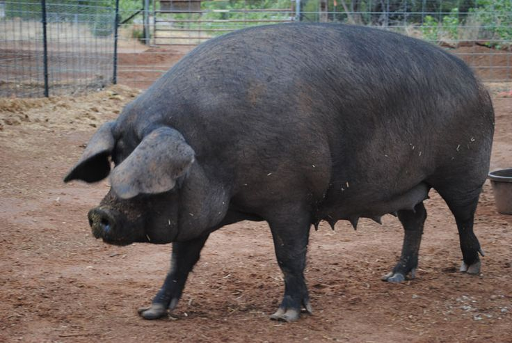 Large Black Hog Bloodlines | Our Large Black Hog sow ...