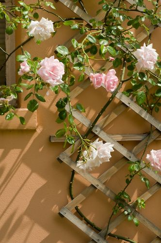 City garden with trellis and climbing rose, June, England