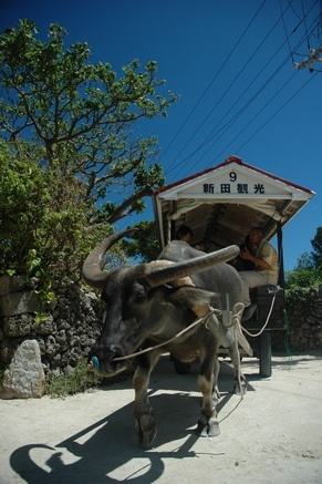 由布島の水牛車(沖縄) Water buffalo cart in Yubujima island, Okinawa, Japan