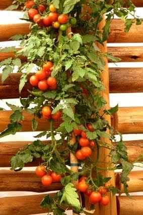 No último final de semana ganhei do irmão e da cunhada um punhado de tomatinhos cereja deliciosos. A parte interessante é que foram produzid...