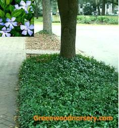 Vinca minor, 'Trailing Periwinkle', plants are a fast growing excellent evergreen ground cover for full sun, shade and semi-shaded areas. Ground cover vinca produces dark green oval-shaped foliage and conspicuous blue flowers in early Spring. Combines with Pachysandra. Vinca vines grow low to the ground.    VINCA MINOR, as does Pachysandra, is adaptable to most any soil, but prefers fairly good soil.    Plant spacing's for bare root: 12 inches apart. 100 plants will cover 100 square feet.