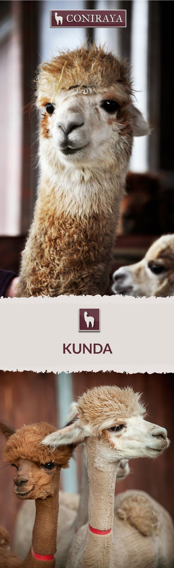 Meet Coniraya - Kunda. This Alpaca was born in 2012 and its fiber is in color: Light Fawn. Check out more details on our site!