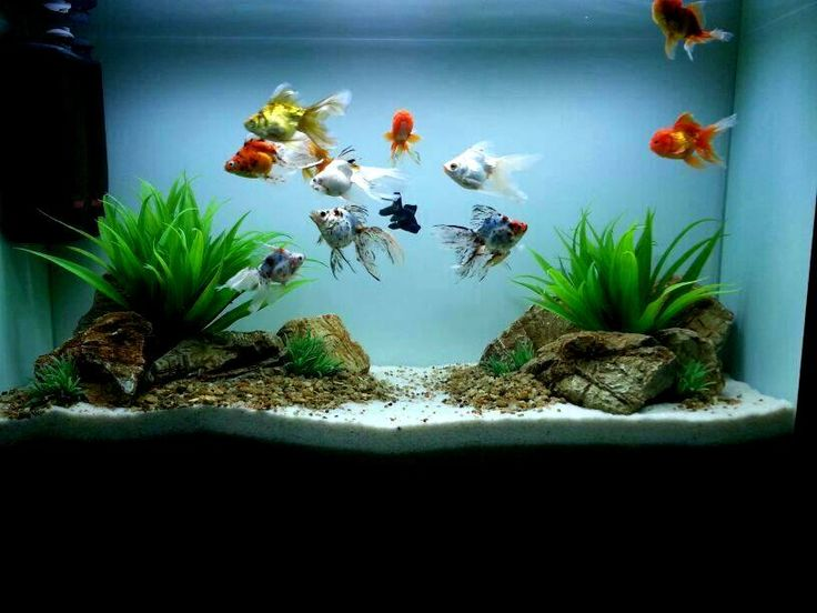 goldfish aquarium design - Google Search                                                                                                                                                                                 More