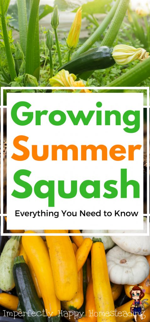 Growing Summer Squash - Everything You Need to Know to Have a Great Garden Harvest