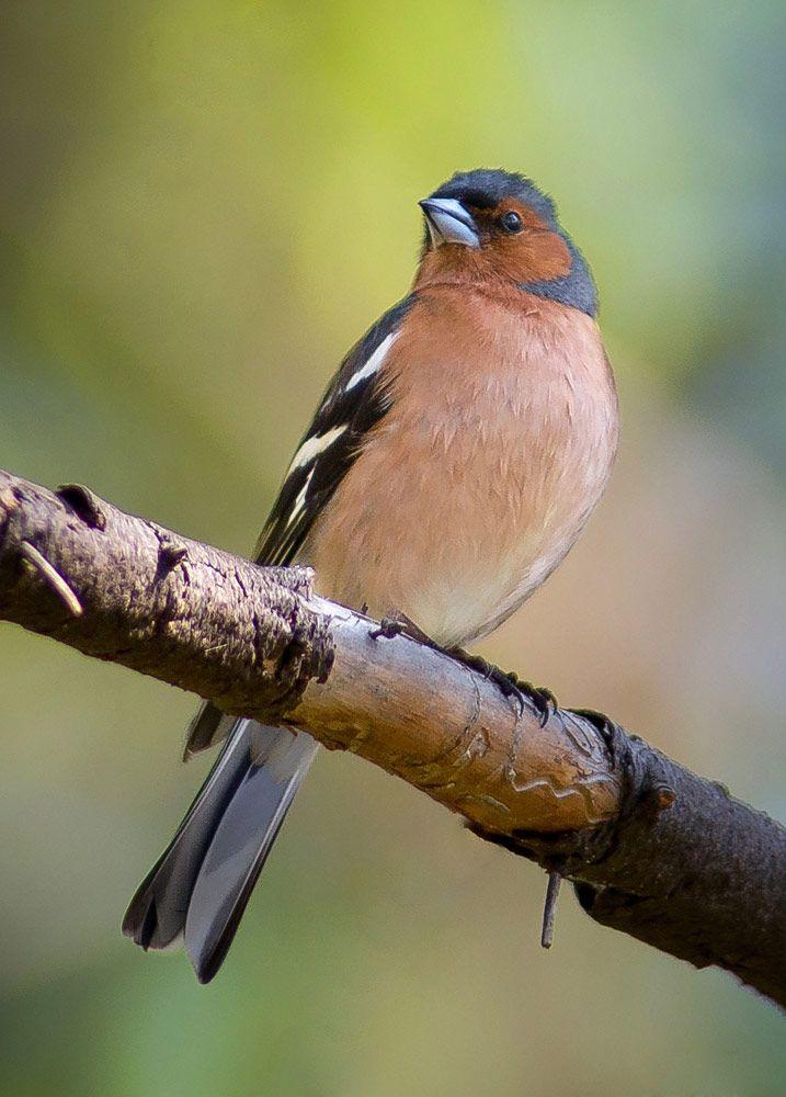 [フリー画像素材] 動物, 鳥類, ズアオアトリ ID:201306081000